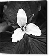 Trillium In Black And White Canvas Print by Cari Gesch