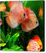 Tropical Discus Fish Group Canvas Print by Amy Vangsgard