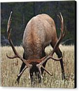 Truly Horney Canvas Print by Bob Christopher