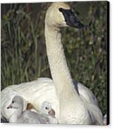 Trumpeter Swan On Nest With Chicks Canvas Print by Michael Quinton