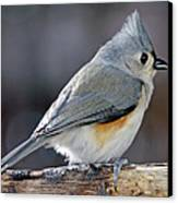 Tufted Titmouse Animal Portrait Canvas Print by A Gurmankin