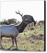 Tules Elks Of Tomales Bay California - 7d21199 Canvas Print by Wingsdomain Art and Photography