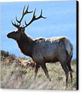 Tules Elks Of Tomales Bay California - 7d21218 Canvas Print by Wingsdomain Art and Photography