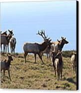 Tules Elks Of Tomales Bay California - 7d21236 Canvas Print by Wingsdomain Art and Photography