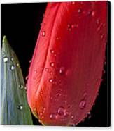 Tulip Close Up Canvas Print by Garry Gay
