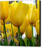Tulips Of Gold Canvas Print by Sally Nevin
