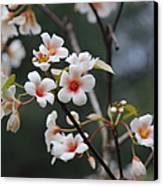 Tung Oil Blossoms Canvas Print