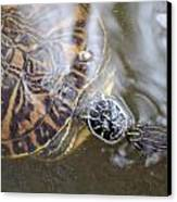 Turtle Kiss Canvas Print by Julie Cameron