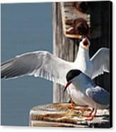Two Terns Canvas Print by Diane Rada