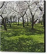 Under The Cherry Blossoms - Washington Dc. Canvas Print