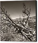 Uprooted - Bryce Canyon Sepia Canvas Print by Tammy Wetzel