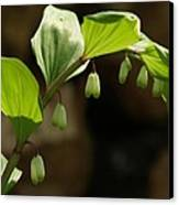 Variegated Solomon's Seal In Spring - Pennsylvania Canvas Print