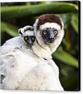 Verreauxs Sifaka With Baby Madagascar Canvas Print