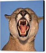 V.hurst Tk21663d, Mountain Lion Growling Canvas Print