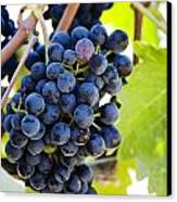 Vineyard Grapes Canvas Print