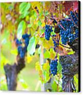 Vineyard Grapes Ready For Harvest Canvas Print