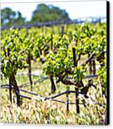Vineyard With Young Plants Canvas Print by Susan Schmitz