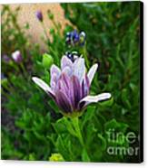 Violet Daisy  Oleo Canvas Print by Stefano Piccini