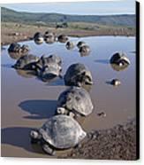 Volcan Alcedo Giant Tortoise Wallowing Canvas Print