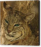 Wary Bobcat Canvas Print by Penny Lisowski
