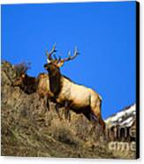 Watchful Bull Canvas Print