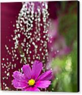 Watering The Cosmos Canvas Print