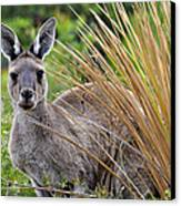 What'ya Lookin' At? Canvas Print by Sally Nevin
