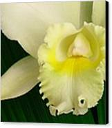 White Cattleya Orchid Canvas Print by James Temple