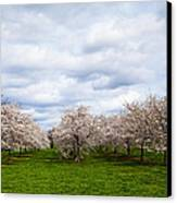 White Cherry Blossom Field In Maryland Canvas Print by Susan Schmitz