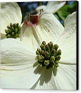 White Dogwood Flowers Art Prints Spring Canvas Print by Baslee Troutman
