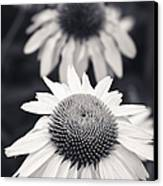 White Echinacea Flower Or Coneflower Canvas Print by Adam Romanowicz
