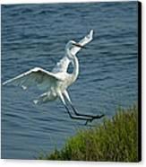 White Egret Landing 2 Canvas Print by Ernie Echols