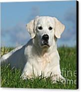 White Golden Retriever Dog Lying In Grass Canvas Print by Dog Photos