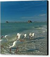 White Ibis Near Historic Naples Pier Canvas Print