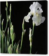 White Iris In Black Of Night Canvas Print