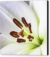 White Lily Close Up Canvas Print