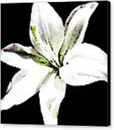 White Lily - Elegant Black And White Floral Art By Sharon Cummings Canvas Print by Sharon Cummings