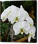 White Orchids 2 Canvas Print by Timothy Blair