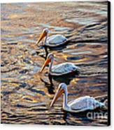 White Pelicans  In Golden Water Canvas Print