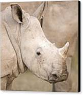 White Rhinoceros Calf Canvas Print by Science Photo Library