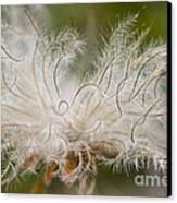 White Seedhad Of Mountain Avens Canvas Print