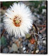 White Spring Wildflower Canvas Print by Patricia Januszkiewicz