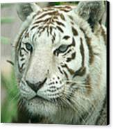 White Tiger Canvas Print by Karen Lindquist