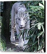 White Tiger  Canvas Print by Shoal Hollingsworth