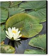 White Water Lily Canvas Print by Matt Dobson