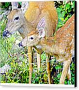 Whitetailed Deer Doe And Fawn Canvas Print
