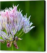 Wild Blue - Chive Blossom Canvas Print by Adam Romanowicz
