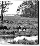 Wild Horses Of Assateague Feeding Canvas Print by Dan Friend