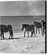 Wild Mustangs Of Shackleford Canvas Print by Betsy Knapp