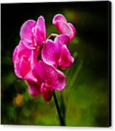Wild Pea Flower Canvas Print by Robert Bales